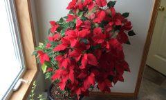 Conserver un Poinsettia, année après année!!!